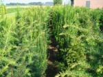 Plantiflor Heimische Eibe »Taxus baccata«