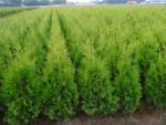 Plantiflor Lebensbaum Brabant »Thuja occ. brabant«