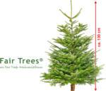 geschlagene Nordmanntanne Fair Trees, ca. 130 cm
