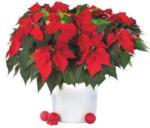 Weihnachtsstern-Busch