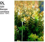 Aquaristik - OK Bacopa caroliniana (Q20)