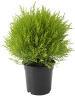 CUPRESSUS MACROCARPA Pflanze, Zypresse, Kugel