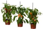 CAPSICUM ANNUUM Pflanze, Paprika versch. Arten