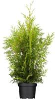 Lebensbaum Brabant, 30-40 cm