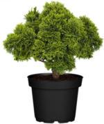 Muschelzypresse Nana Gracilis, 10-20 cm